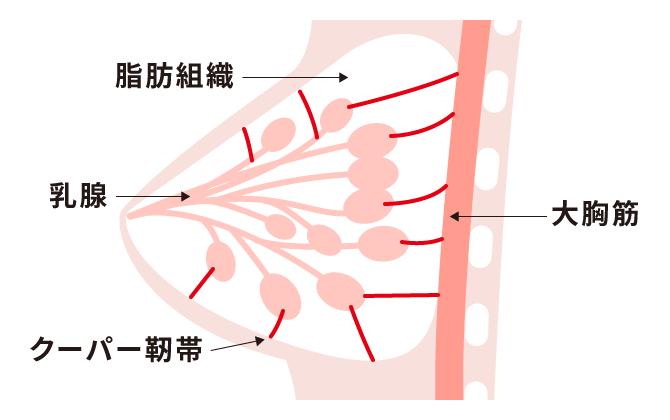 バストの構造