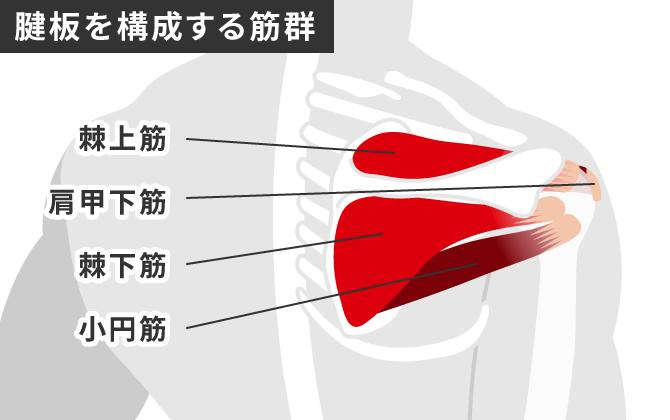 ローテーターカフ 腱板を構成する筋群