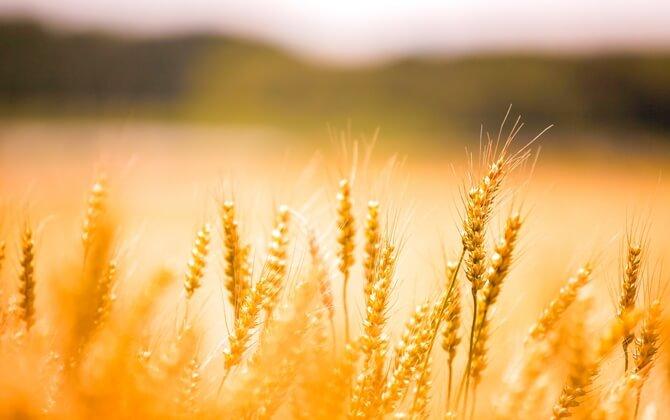 小麦アレルギーと大麦アレルギーの違い