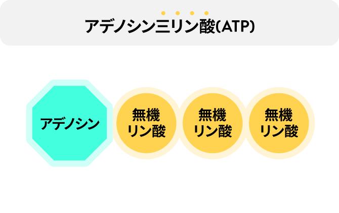 アデノシン三リン酸(ATP)の説明